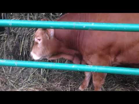 # 116 Zakiszone Nutry Honey dla Bydła Limousine